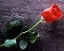love-red-rose-wallpaper-image-pics-photos